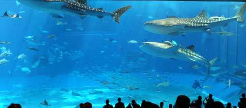 美ら海水族館大水槽を泳ぐジンベエザメ3匹
